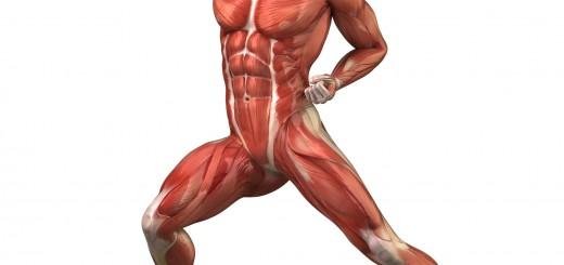 muscles-anatomy-body2