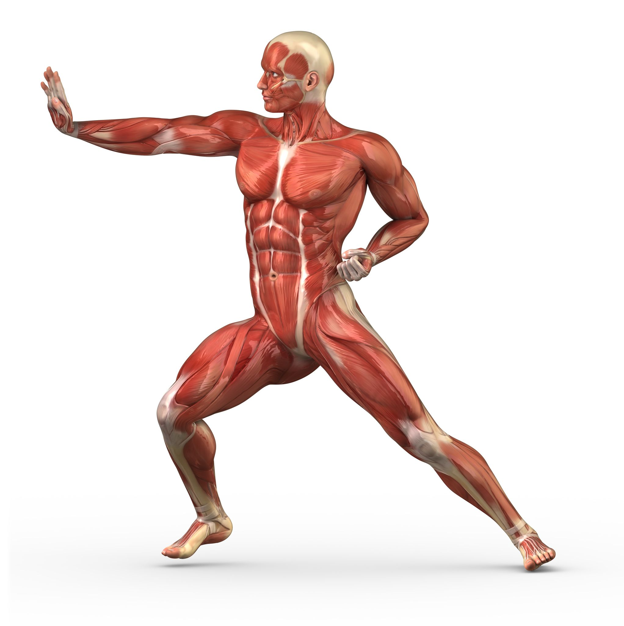 muscles-anatomy-body2